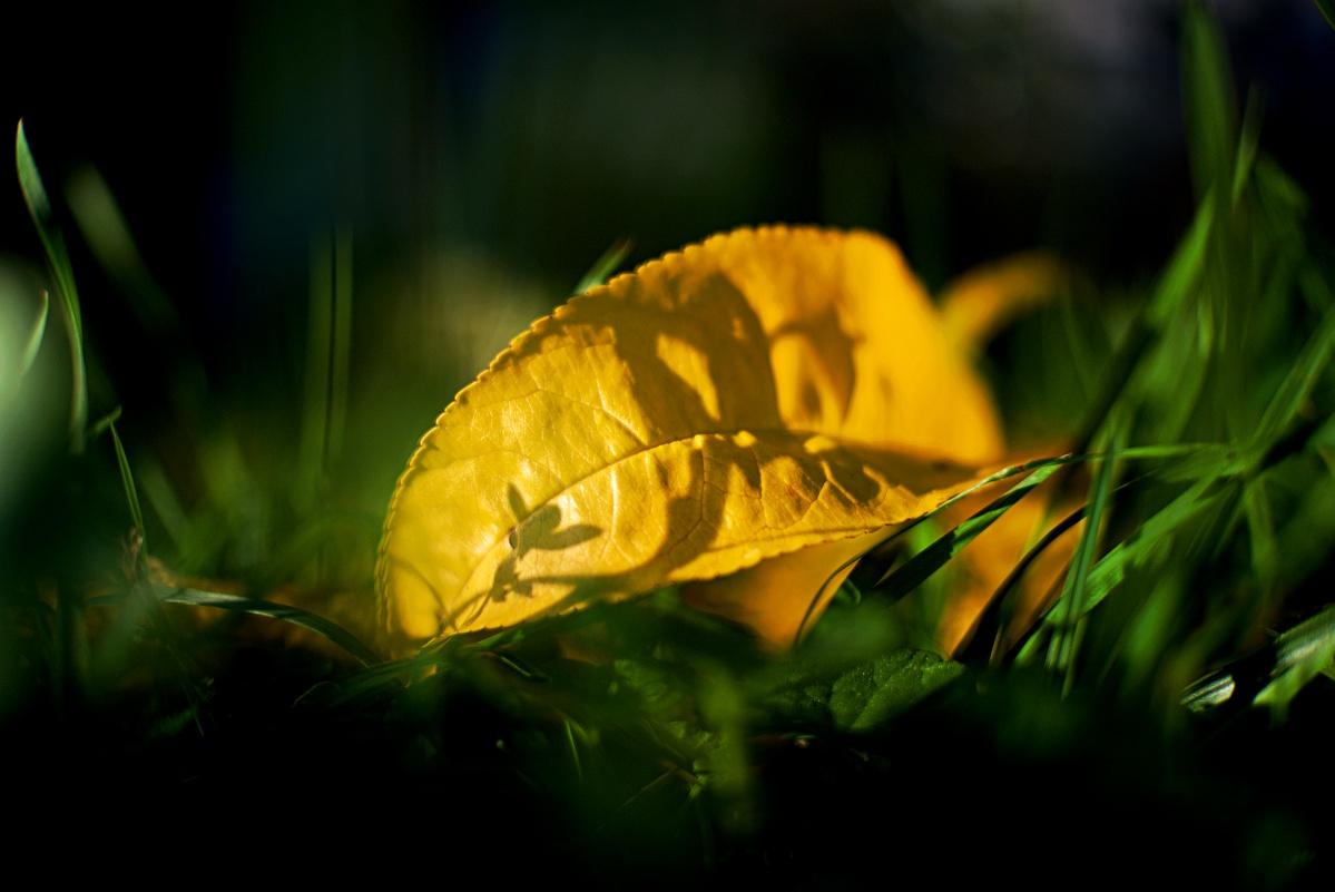 #291 NEEWER HD.MC f1.8 25mm – Herbstliches Pfirsichblatt am Boden
