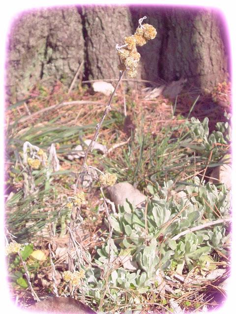 Bunga Edelweis Tumbuh di Halaman Rumahku