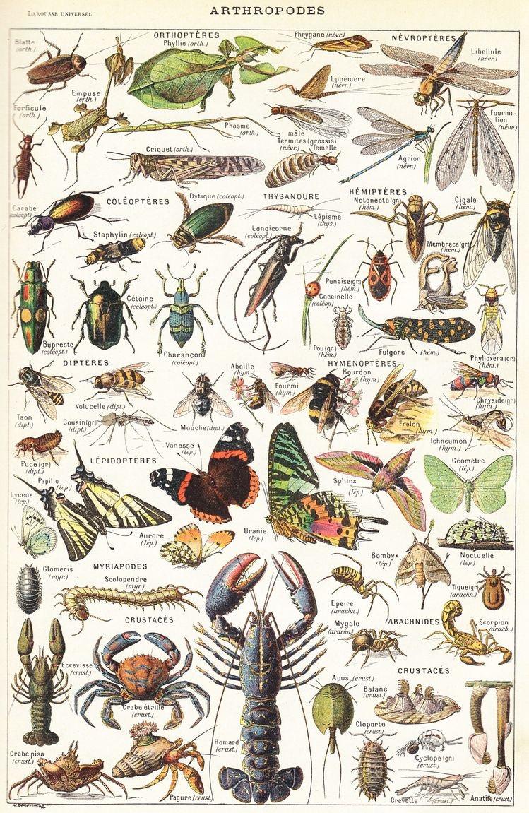 Artrópodes   Arthropoda