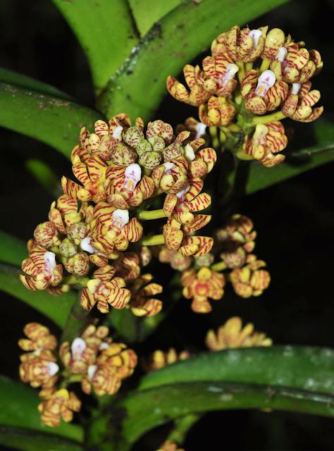 ดอกเอื้องสารภี Acampe praemorsa var. longepedunculata กล้วยไม้