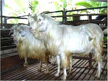 kambing gembrong kambing yang terancam punah