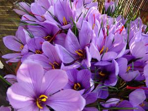 Saffron-Crocus sativus bulbs for saleKashmiri Saffron Bulbs