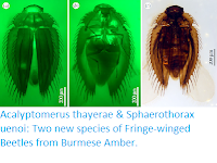 https://sciencythoughts.blogspot.com/2019/04/acalyptomerus-thayerae-sphaerothorax.html