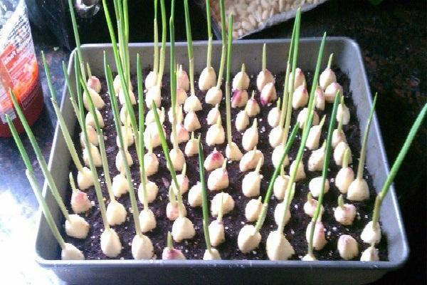 Deja de comprar ajo. Aquí te enseñaré cómo cultivar un suministro ilimitado de ajo en casa