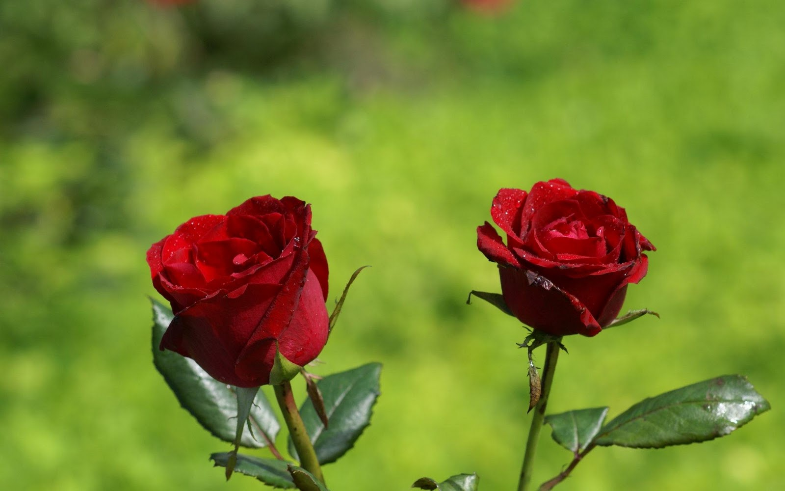 Indian And Paki Wallpapers Latest New Red Roses