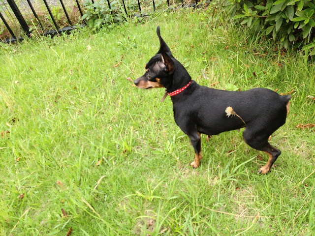 pinscher dog 2020