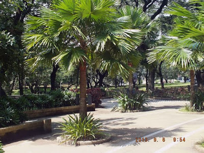 Jenis pohon Palem sadeng (Saribus rotundifolius)