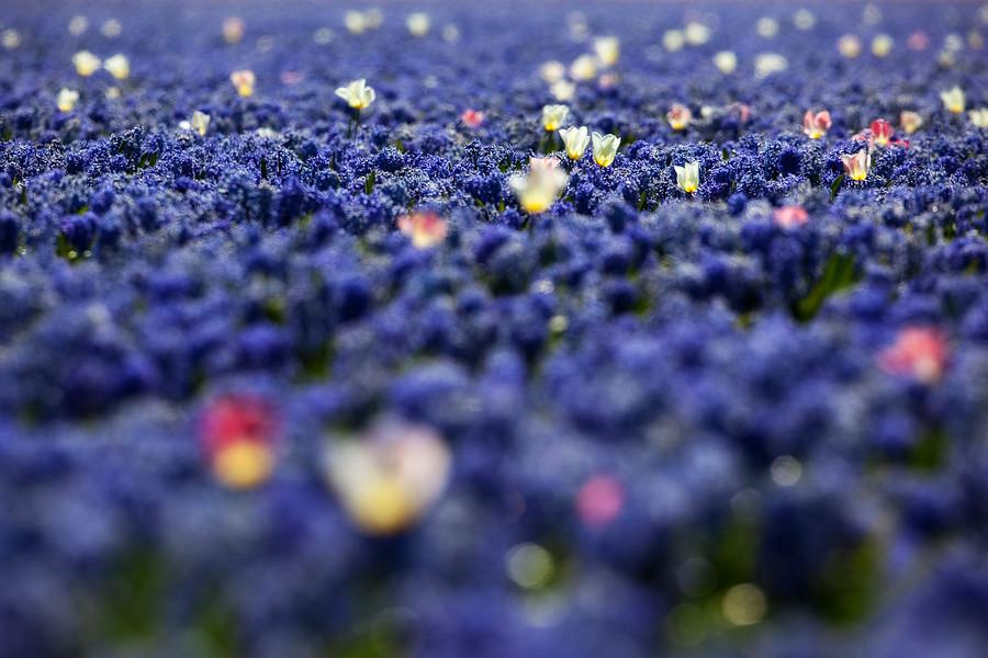 flores de jacintos y tulipanes en campo de cultivo