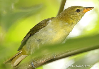 Guira Tanager (female)