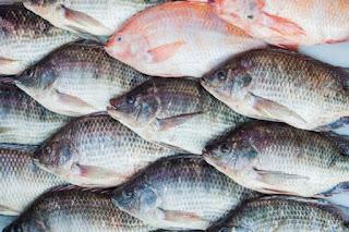 Harga Supplier Jual Ikan Nila Bibit dan Konsumsi Banda Aceh, Aceh