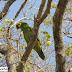 Projetos de conservação de papagaios se unem contra tráfico de aves