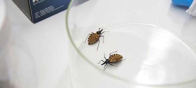 La chinche triotamina, que se encuentra principalmente en América Latina y el sur de EE.UU., causante de la enfermedad de Chagas.CDC/David Snyder
