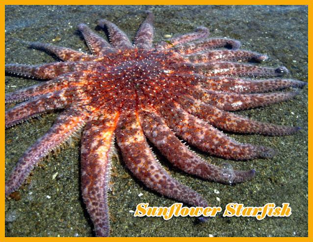 Bintang laut, atau star fish, adalah Echinodermata anggota kelas Asteroidea. Tubuh star fish terdiri dari lempeng piringan pusat dengan lima lengan yang membentang menyerupai bintang. 5 lengan adalah jumlah paling umum sering kita temukan pada Echinodermata seperti bintang laut, namun faktanya ada jenis-jenis atau spesies bintang laut dengan lengan mencapai hingga 20 lengan bahkan lebih. Contohnya seperti sunflower starfish (starfish bunga matahari).