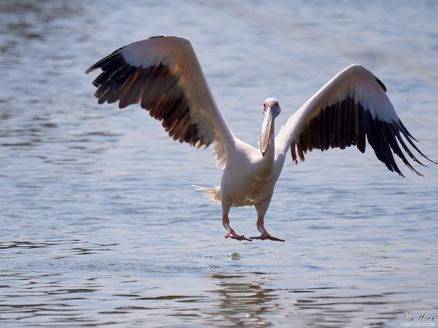 Pelican Landing