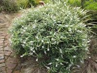 Hebe shrub - Te Kainga Marire, New Plymouth, New Zealand