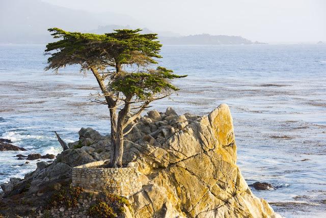 POHON UNIK Lone Cypress
