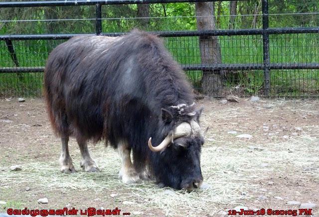 Alaska Zoo Musk Oxen