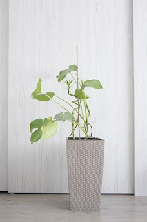 Philodendron hanging plant