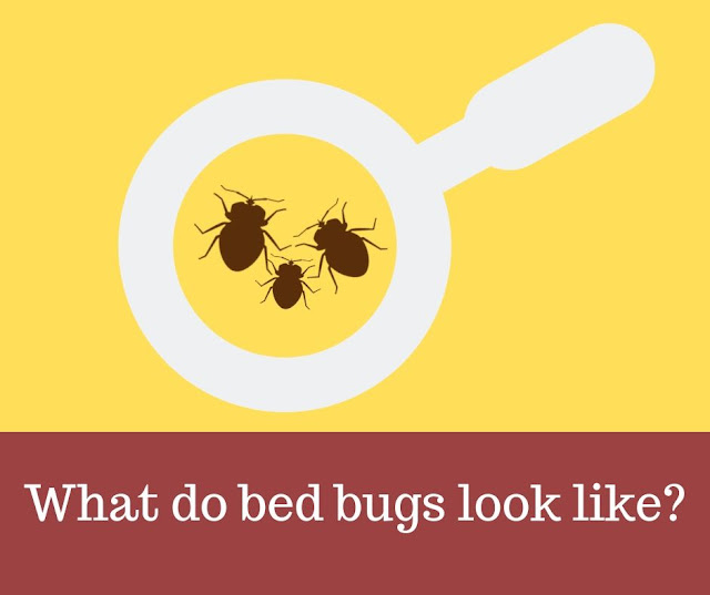 What do bed bugs look like? Bed Bugs under Magnifying glass.