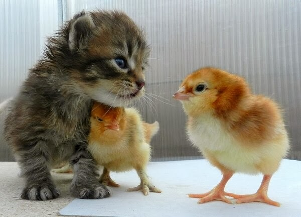 Funny animals of the week - 21 February 2014 (40 pics), kitten and chicks playing