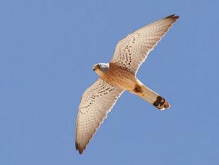 Cernícalo primilla macho en vuelo
