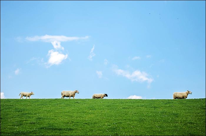 Wangerland - Nordsee - Schafe - Deich
