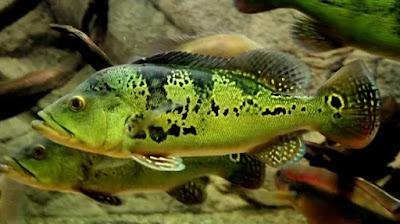 Ikan Predator Peacock Bass