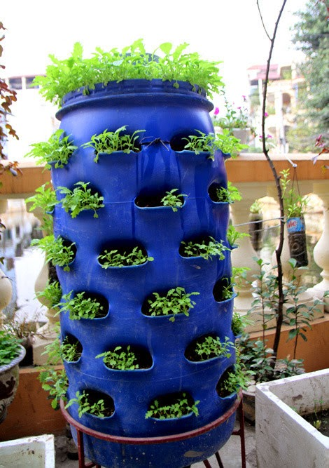 Growing Vegetables In The Plastic Drums