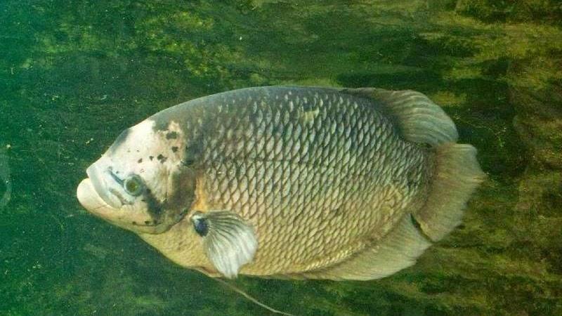 Hama Dan Penyakit Pada Budidaya Ikan Gurame Serta Cara Mengatasinya