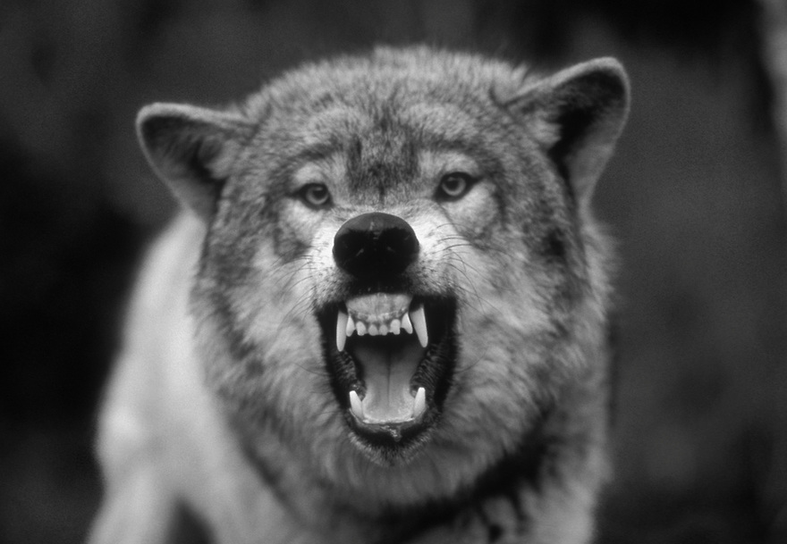 Black Snarling Wolf And White
