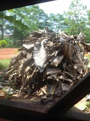 daun pisang kering tempat sembunyi jangkrik