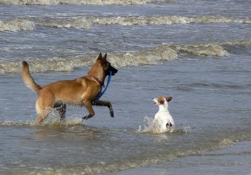 Verkoeling aan zee...ook de beesten hebben het warm.