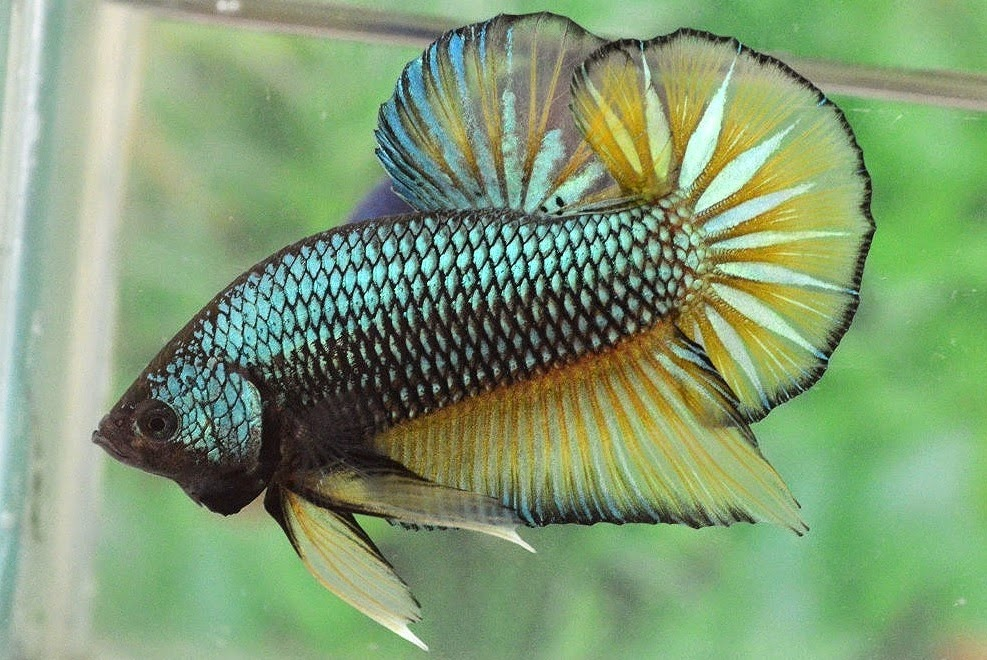 What I Guess Is A Male Halfmoon Mustard Gas Betta Fish Forum