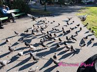 廣場前的鴿子們