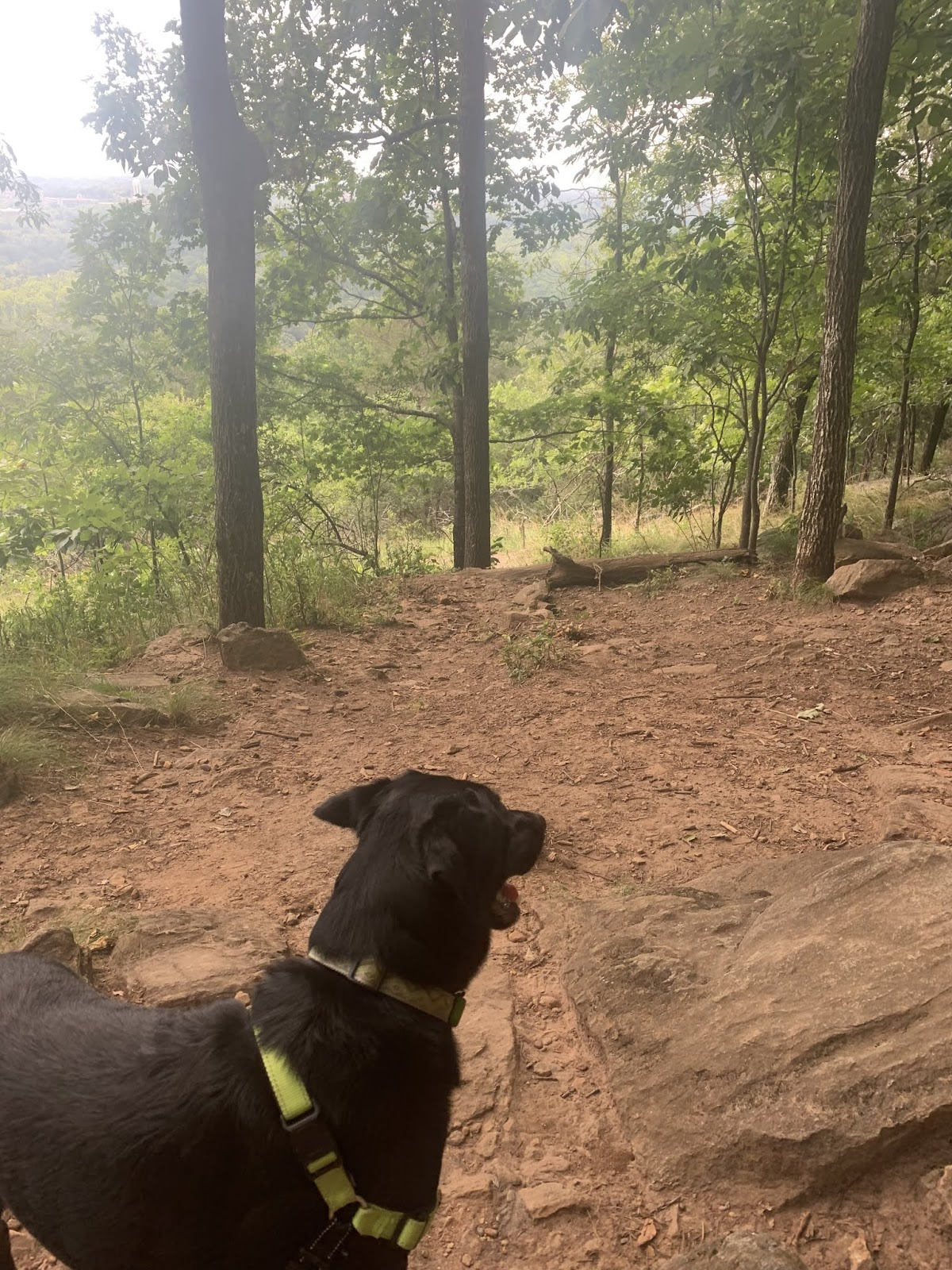 a black lab with a lime green harness is startled either by the sound of cannon fire or the fact that his human is not as agile going down the mountain as he is.