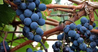 Deep purple grapes on vines.