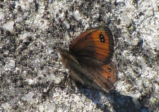 Górówka montana (Erebia montanus).