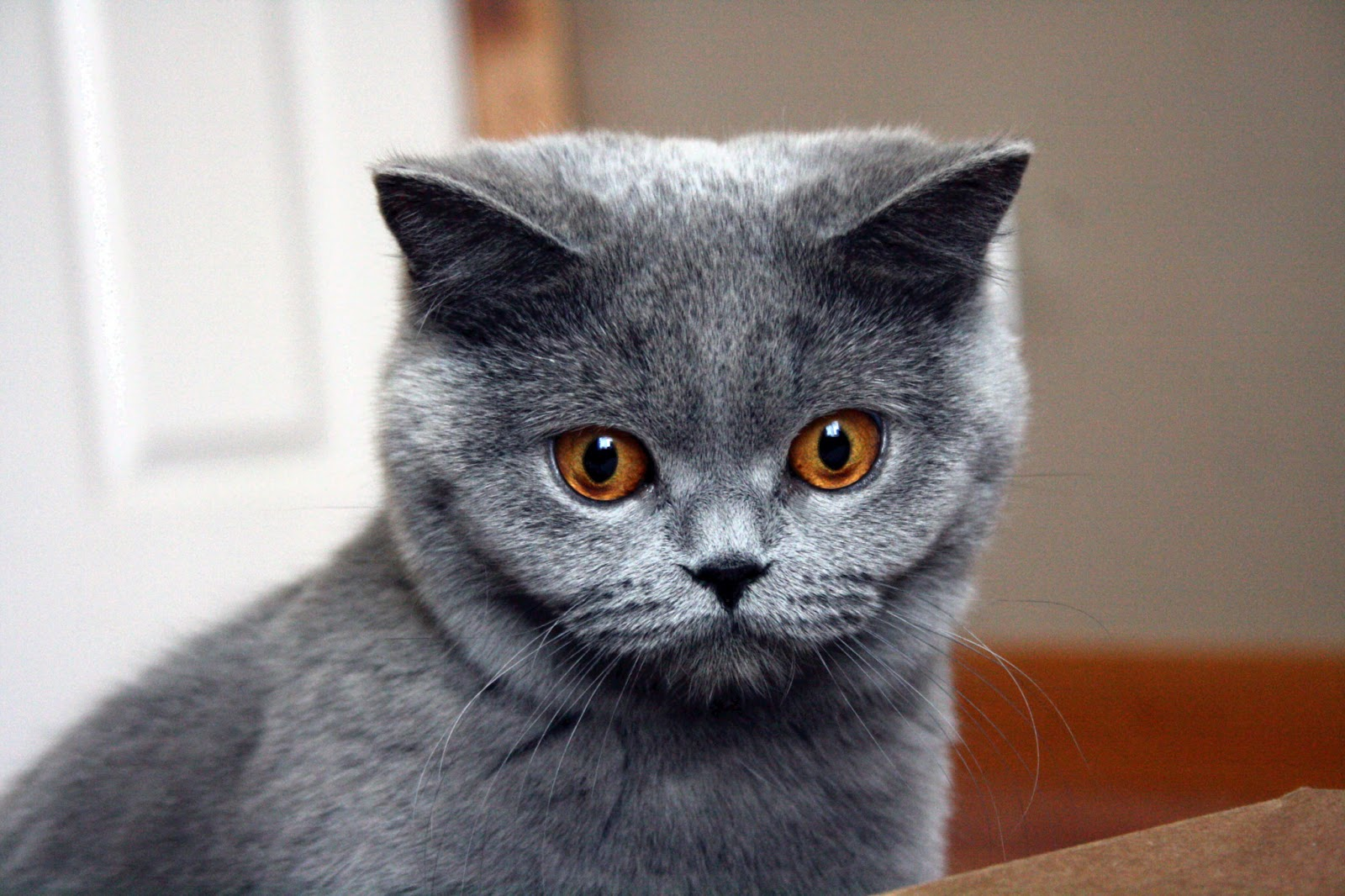 British Shorthair Kittens | The House of Meow
