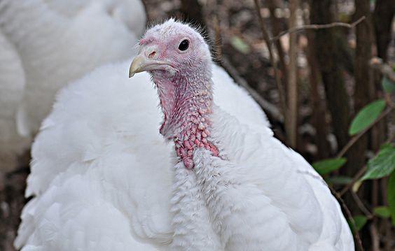 Turkey | A-Z List of 125 Rare Albino Animals [Pics]