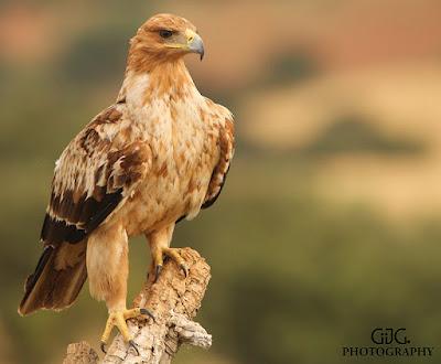 Juvenil de águila imperial ibérica (Aquila adalberti)