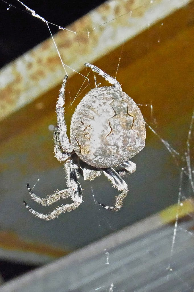 yamasanae: オニグモ 鬼蜘蛛