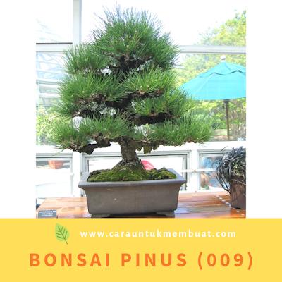 Bonsai Pinus (009)