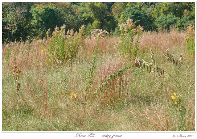 Moose Hill: ... drying grasses...