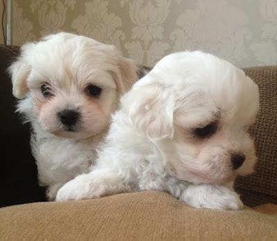 perros malteses hermanos