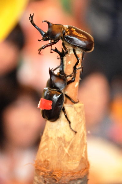 Unicorn Beetle Sumo Competition, Nakayama Town, Yamagata Pref.
