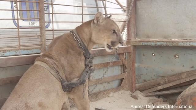 20 лет пума провела с цепью на шее в цирковом фургоне! Наконец ее освободили!!!