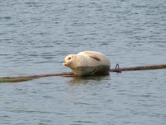 fat seal with bath tub ring at Oak Harbor