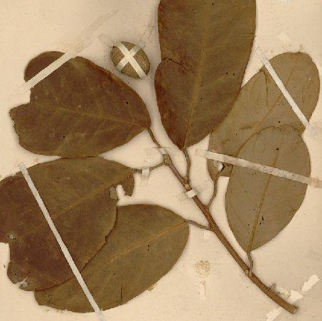 Lá Cây Trứng cuốc - Stixis elongata - Nguyên liệu làm thuốc Chữa Tê Thấp và Đau Nhức