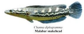 malabar snakehead