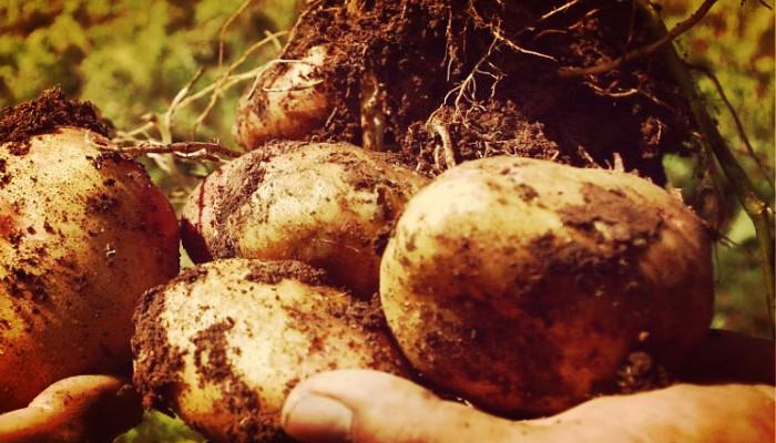 Patatas propiedades
